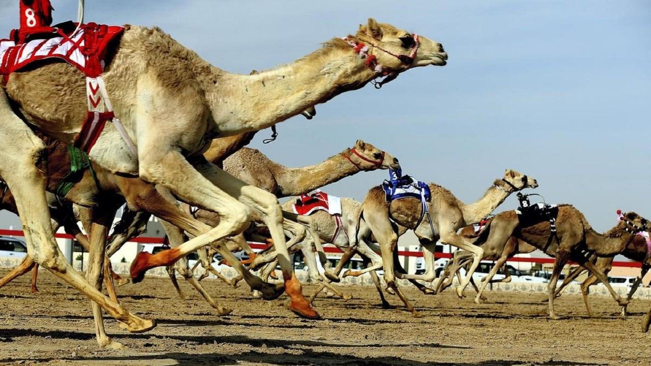 Camel_Race_Dubai